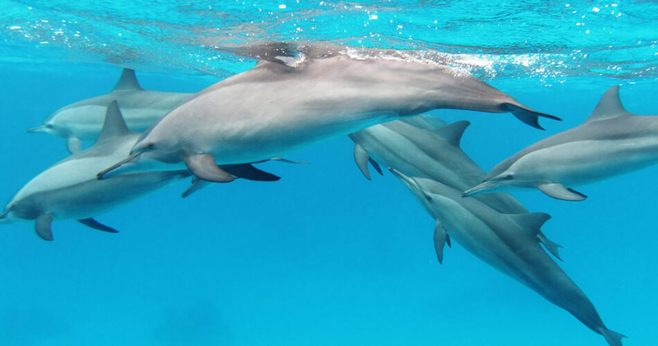 dolphin-chamarel